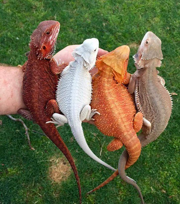 colored-bearded-dragons