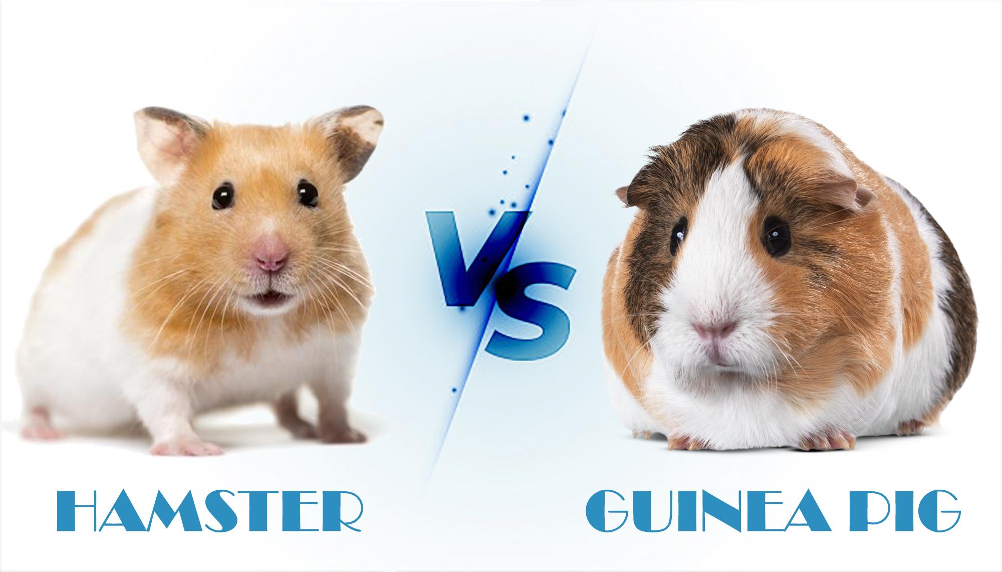 hamster-vs-guinea-pig