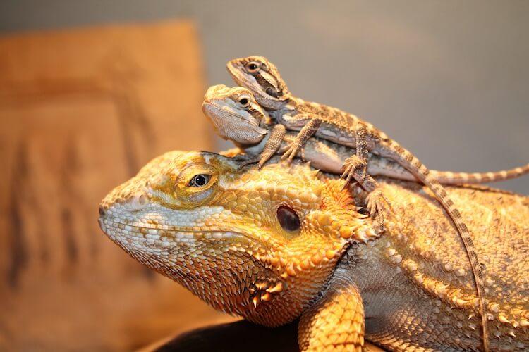 multiple-breaded-dragon-in-single-picture