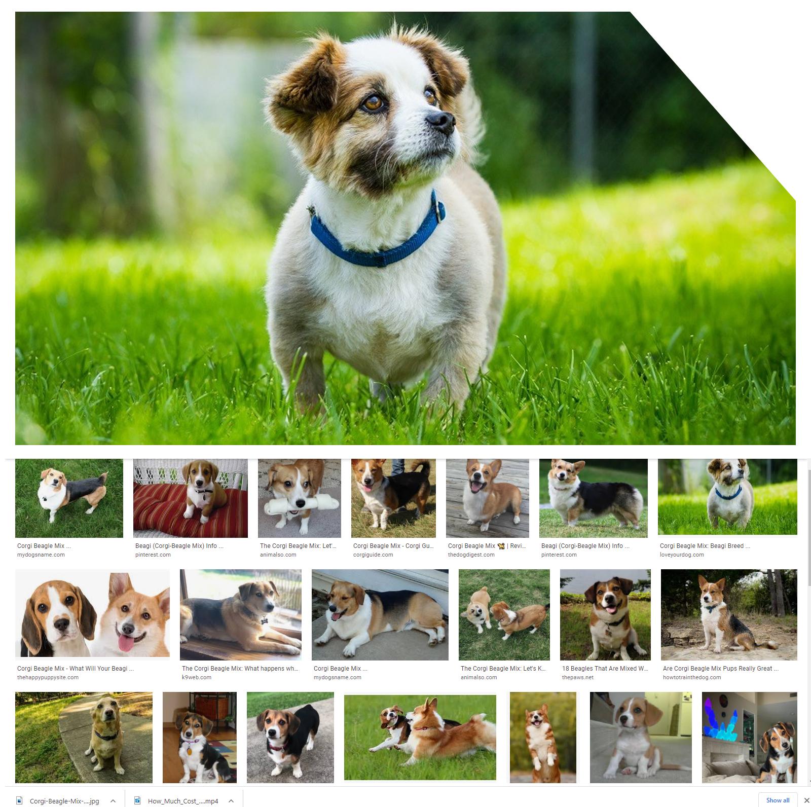 Corgi-Beagle-Mix-all-need-to-know
