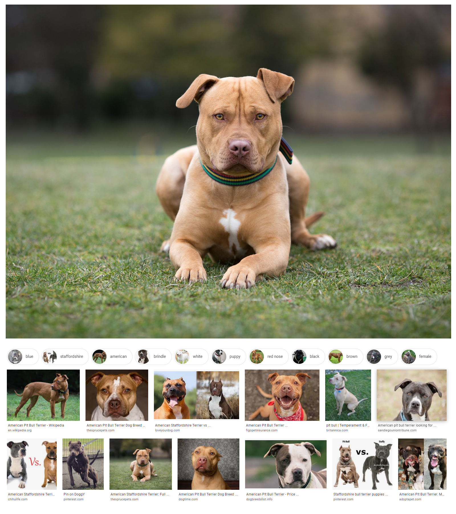 How Much Cost an American Pit Bull Terrier