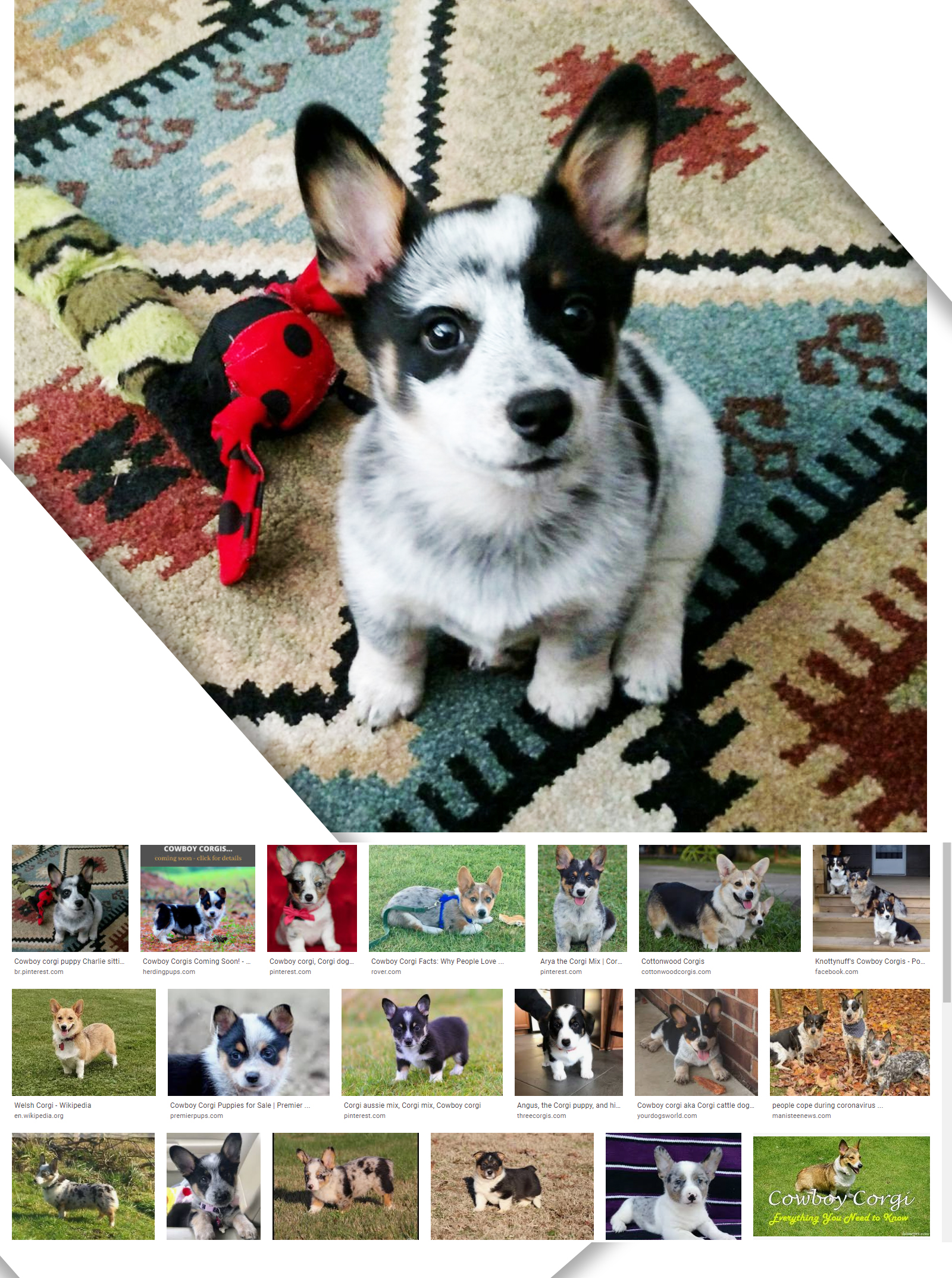 cowboy corgi puppies information - petscarebox