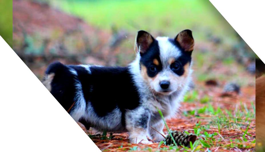 cowboy corgi puppy - petscarebox