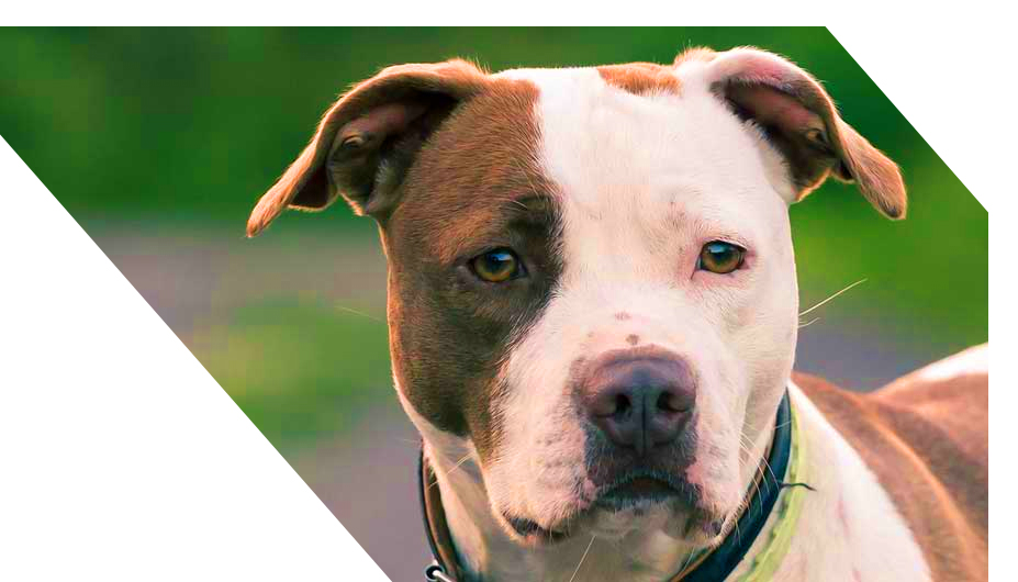 life-spam-and-costs-for-pitbull-terrier