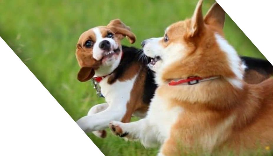 mix-Corgi-Beagle-picture